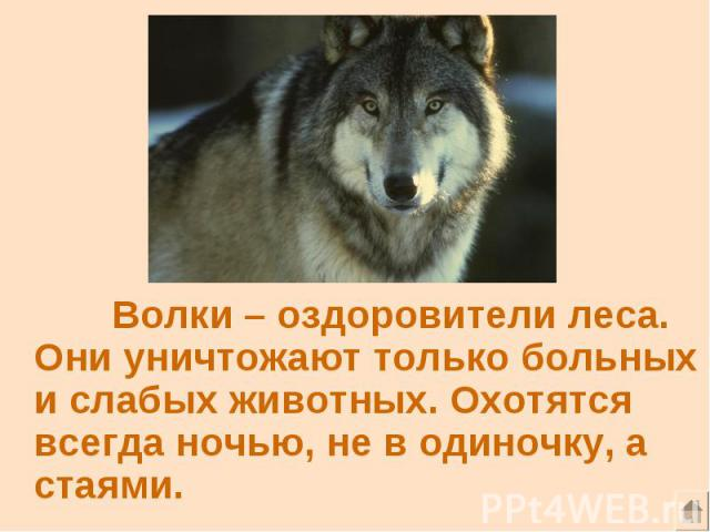 Волки – оздоровители леса. Они уничтожают только больных и слабых животных. Охотятся всегда ночью, не в одиночку, а стаями.