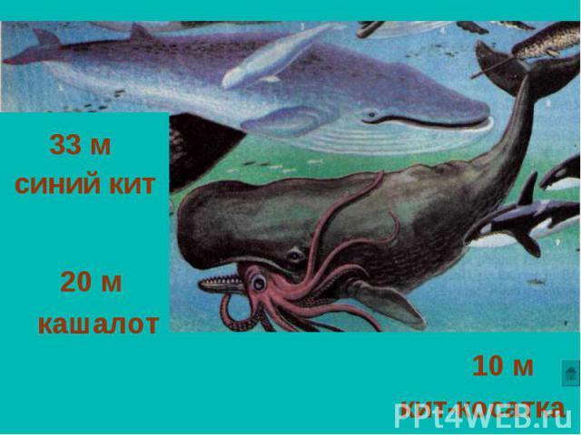 33 м синий кит 20 м кашалот 10 м кит-косатка