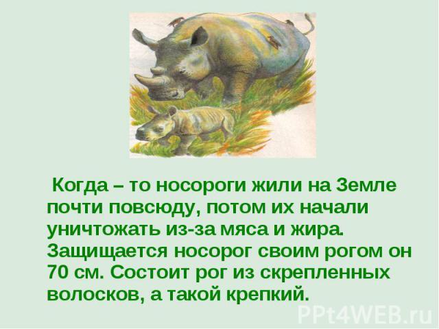Когда – то носороги жили на Земле почти повсюду, потом их начали уничтожать из-за мяса и жира. Защищается носорог своим рогом он 70 см. Состоит рог из скрепленных волосков, а такой крепкий.