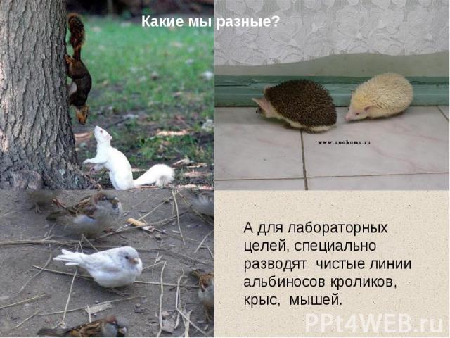 Какие мы разные? А для лабораторных целей, специально разводят чистые линии альбиносов кроликов, крыс, мышей.