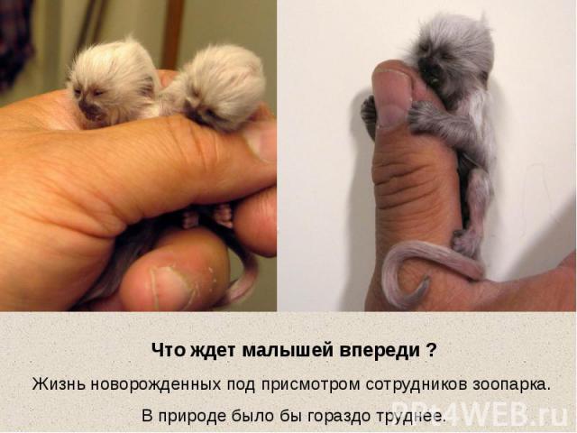 Что ждет малышей впереди ?Жизнь новорожденных под присмотром сотрудников зоопарка. В природе было бы гораздо труднее.