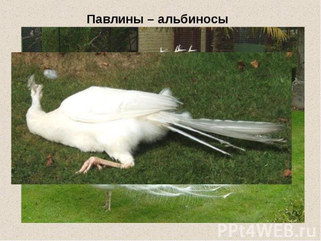 Павлины – альбиносы