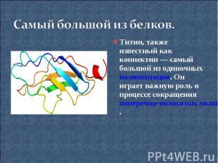 Самый большой из белков.Титин, также известный как коннектин— самый большой из