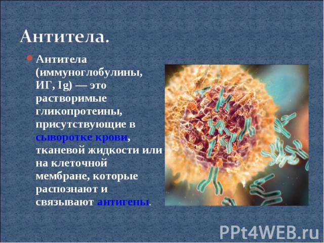 Антитела.Антитела (иммуноглобулины, ИГ, Ig)— это растворимые гликопротеины, присутствующие в сыворотке крови, тканевой жидкости или на клеточной мембране, которые распознают и связывают антигены.
