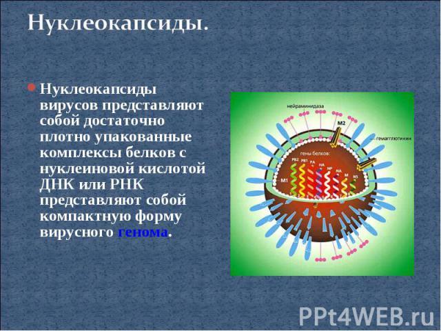 Нуклеокапсиды.Нуклеокапсиды вирусов представляют собой достаточно плотно упакованные комплексы белков с нуклеиновой кислотой ДНК или РНК представляют собой компактную форму вирусного генома.