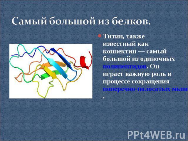 Самый большой из белков.Титин, также известный как коннектин— самый большой из одиночных полипептидов. Он играет важную роль в процессе сокращения поперечно-полосатых мышц.