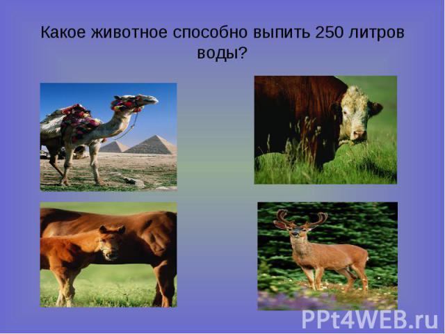 Какое животное способно выпить 250 литров воды?