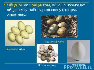 Яйцом, или ооцитом, обычно называют яйцеклетку либо зародышевую форму животных.