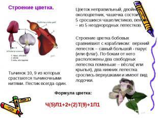 Строение цветка.Тычинок 10, 9 из которых срастаются тычиночными нитями. Пестик в