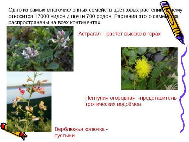 Одно из самых многочисленных семейств цветковых растений. К нему относится 17000 видов и почти 700 родов. Растения этого семейства распространены на всех континентах.Астрагал – растёт высоко в горахНептуния огородная -представитель тропических водоё…