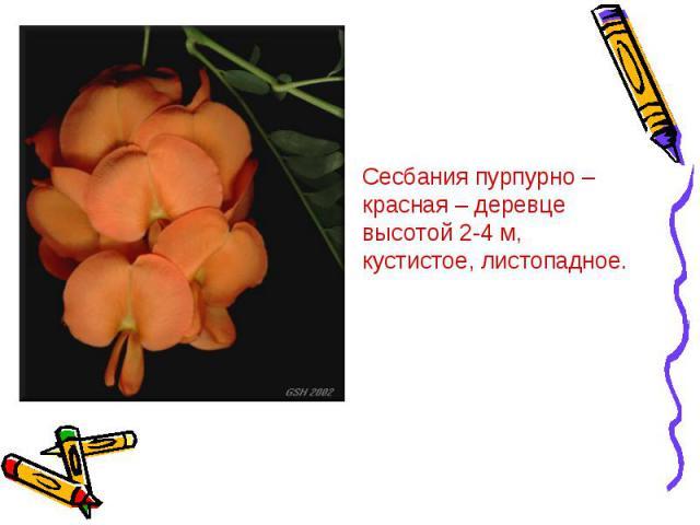 Сесбания пурпурно – красная – деревце высотой 2-4 м, кустистое, листопадное.