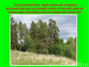 Бузулукский бор- единственный в Европе крупный массив настоящей тайги в степной