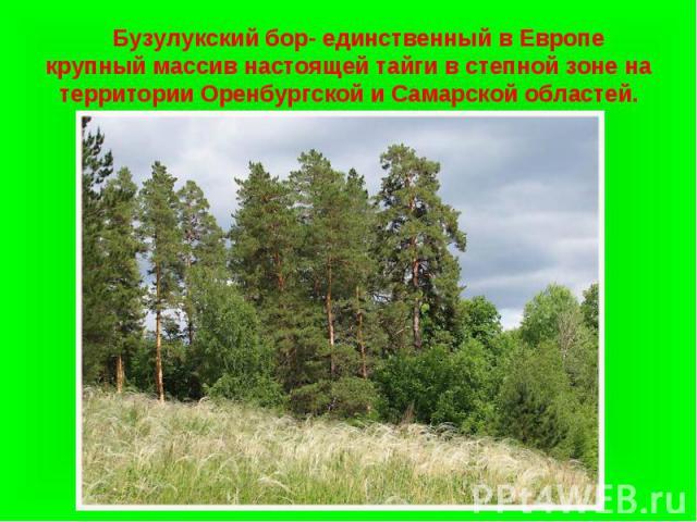 Бузулукский бор- единственный в Европе крупный массив настоящей тайги в степной зоне на территории Оренбургской и Самарской областей.