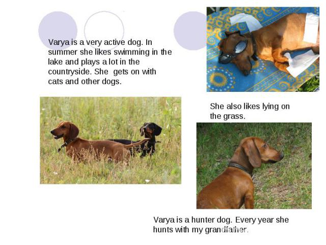 Varya is a very active dog. In summer she likes swimming in the lake and plays a lot in the countryside. She gets on with cats and other dogs. She also likes lying on the grass.Varya is a hunter dog. Every year she hunts with my grandfather.