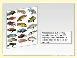 Разнообразие рыб цихлид озера Виктория. Более 500 видов цихлид произошли от обще