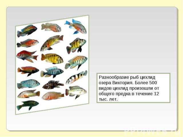 Разнообразие рыб цихлид озера Виктория. Более 500 видов цихлид произошли от общего предка в течение 12 тыс. лет.