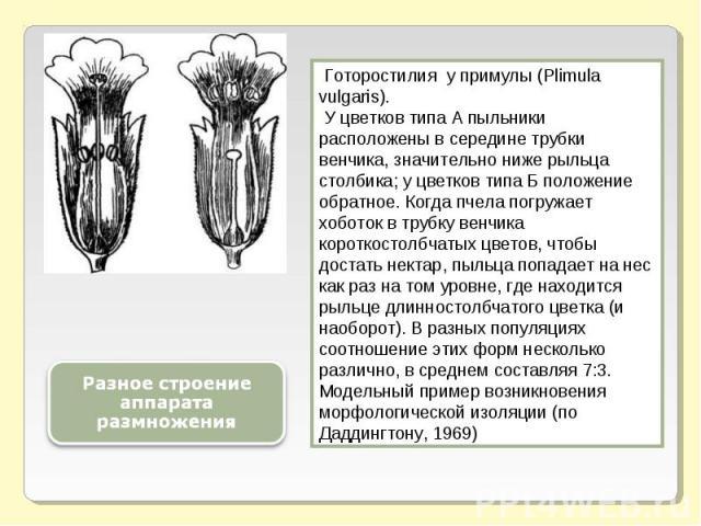 Разное строение аппарата размножения Готоростилия у примулы (Plimula vulgaris). У цветков типа А пыльники расположены в середине трубки венчика, значительно ниже рыльца столбика; у цветков типа Б положение обратное. Когда пчела погружает хоботок в т…