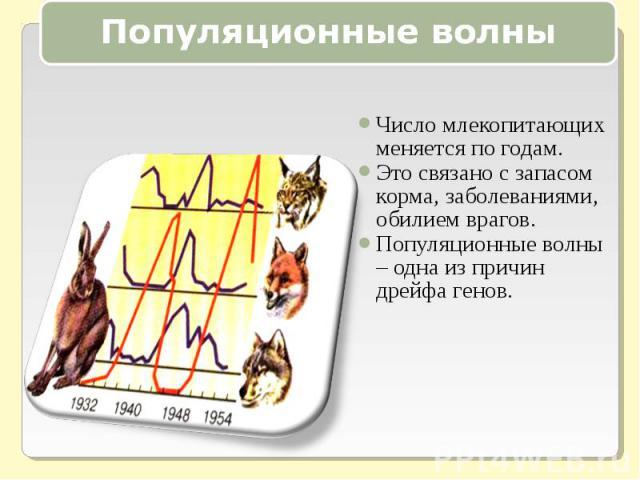 Популяционные волныЧисло млекопитающих меняется по годам.Это связано с запасом корма, заболеваниями, обилием врагов.Популяционные волны – одна из причин дрейфа генов.