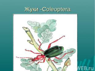 Жуки -Coleoptera