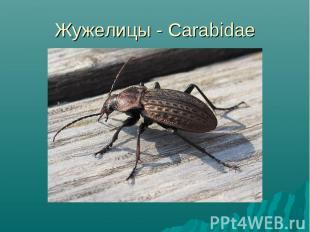 Жужелицы - Carabidae