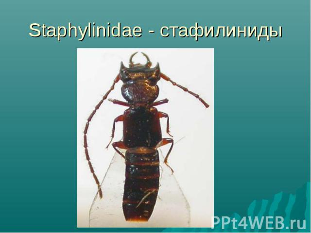 Staphylinidae - стафилиниды