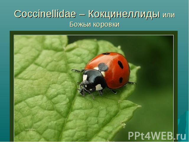 Coccinellidae – Кокцинеллиды или Божьи коровки