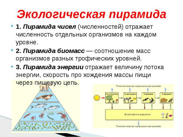 Экологическая пирамида1. Пирамида чисел (численностей) отражает численность отдельных организмов на каждом уровне.2. Пирамида биомасс — соотношение масс организмов разных трофических уровней. 3. Пирамида энергии отражает величину потока энергии, ско…