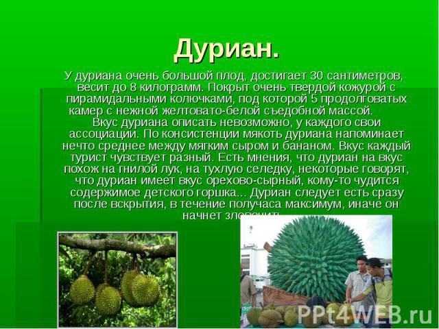 Дуриан. У дуриана очень большой плод, достигает 30 сантиметров, весит до 8 килограмм. Покрыт очень твердой кожурой с пирамидальными колючками, под которой 5 продолговатых камер с нежной желтовато-белой съедобной массой. Вкус дуриана описать невозмож…