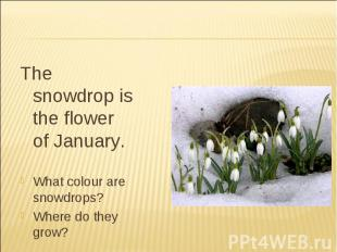 The snowdrop is the flower of January.What colour are snowdrops?Where do they gr