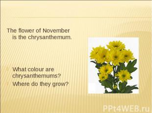 The flower of November is the chrysanthemum.What colour are chrysanthemums?Where