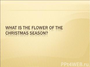 What is the flower of the Christmas season?