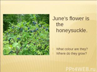 June's flower is the honeysuckle.What colour are they?Where do they grow?