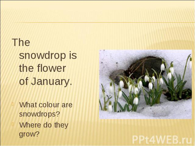 The snowdrop is the flower of January.What colour are snowdrops?Where do they grow?