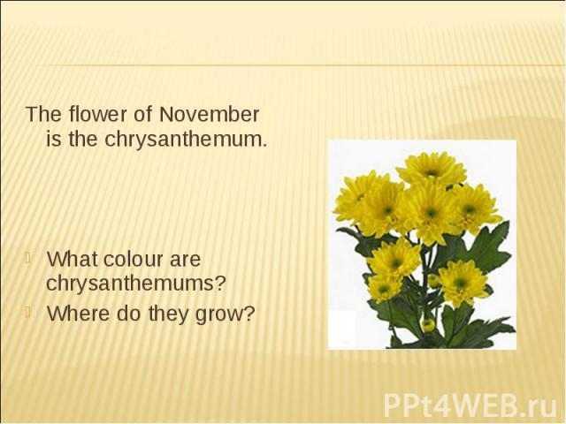 The flower of November is the chrysanthemum.What colour are chrysanthemums?Where do they grow?