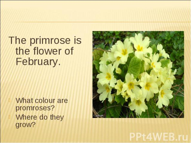 The primrose is the flower of February.What colour are promroses?Where do they grow?