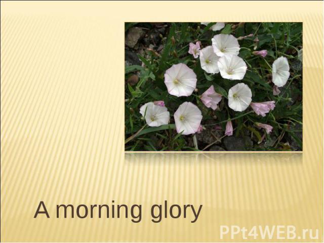 A morning glory