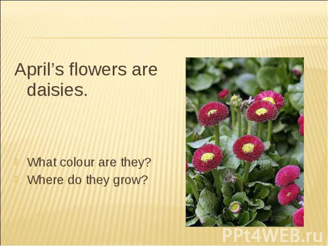 April's flowers are daisies.What colour are they?Where do they grow?