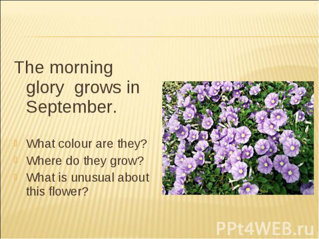 The morning glory grows in September.What colour are they?Where do they grow?What is unusual about this flower?