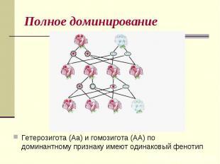 Полное доминированиеГетерозигота (Аа) и гомозигота (АА) по доминантному признаку