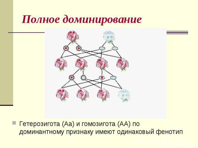 Полное доминированиеГетерозигота (Аа) и гомозигота (АА) по доминантному признаку имеют одинаковый фенотип