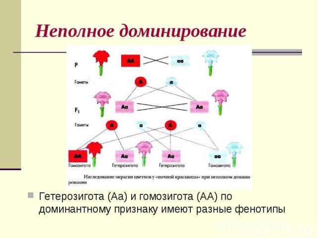 Неполное доминированиеГетерозигота (Аа) и гомозигота (АА) по доминантному признаку имеют разные фенотипы