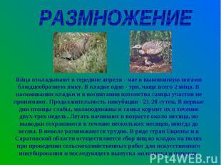 РАЗМНОЖЕНИЕЯйца откладывают в середине апреля - мае в выкопанную ногами блюдцеоб