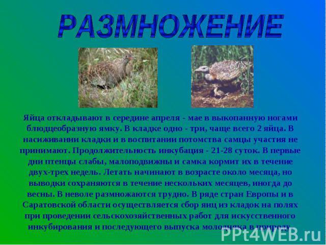 РАЗМНОЖЕНИЕЯйца откладывают в середине апреля - мае в выкопанную ногами блюдцеобразную ямку. В кладке одно - три, чаще всего 2 яйца. В насиживании кладки и в воспитании потомства самцы участия не принимают. Продолжительность инкубация - 21-28 суток.…