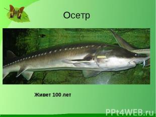 Осетр Живет 100 лет