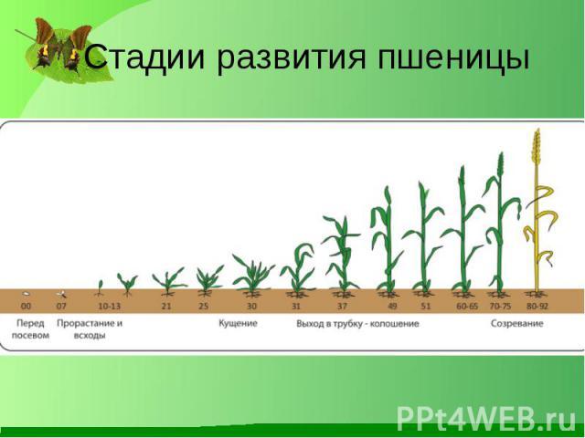 Стадии развития пшеницы