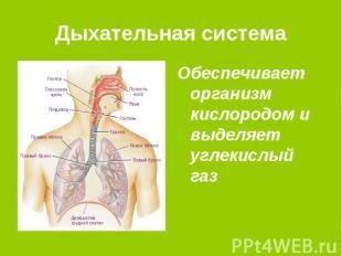 Дыхательная система Обеспечивает организм кислородом и выделяет углекислый газ