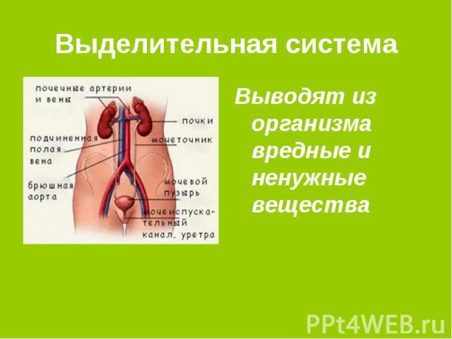 Выделительная система Выводят из организма вредные и ненужные вещества