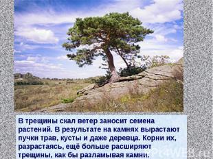 В трещины скал ветер заносит семена растений. В результате на камнях вырастают п