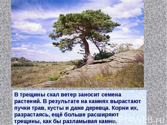 В трещины скал ветер заносит семена растений. В результате на камнях вырастают пучки трав, кусты и даже деревца. Корни их, разрастаясь, ещё больше расширяют трещины, как бы разламывая камни.