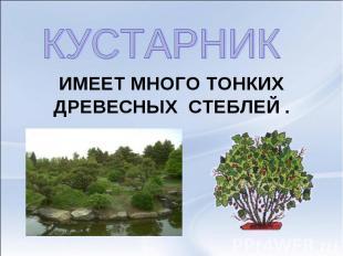 КУСТАРНИК ИМЕЕТ МНОГО ТОНКИХДРЕВЕСНЫХ СТЕБЛЕЙ .
